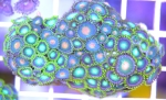 WYSIWYG Combo  zoanthids $30 about 100+ polyps